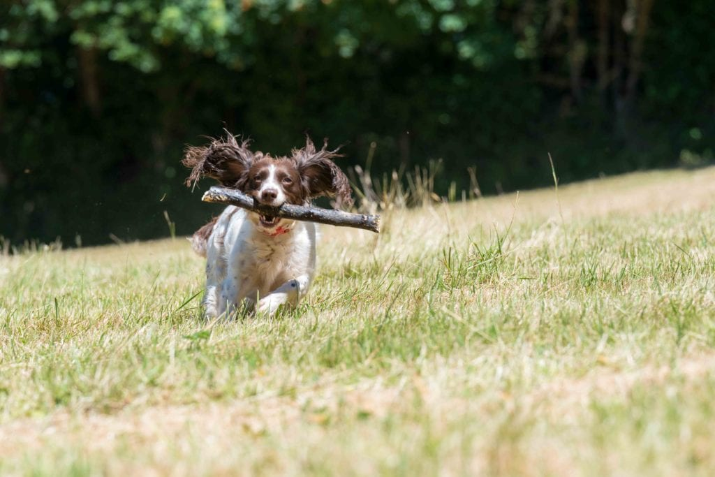 Cofton Dog Freindly Holidays Dog Running With Stick e1544787618987